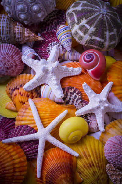 Three Seashells Photograph - Three Starfish by Garry Gay