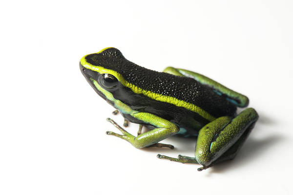 Poison Dart Frog Photograph - Three Striped Poison Dart Frog by Louise Murray/science Photo Library