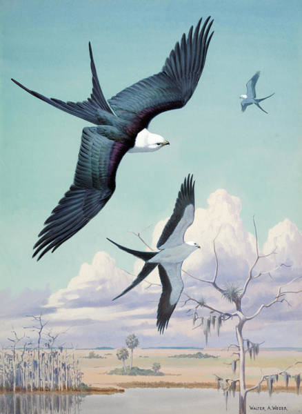 Wall Art - Photograph - Three Swallow-tailed Kite Birds Soar by Walter A. Weber