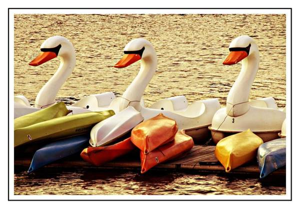 Photograph - Three Swans by Alice Gipson