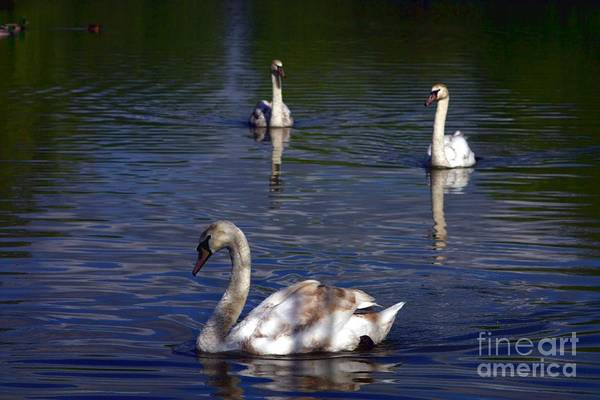 Photograph - Three Swans by Jeremy Hayden