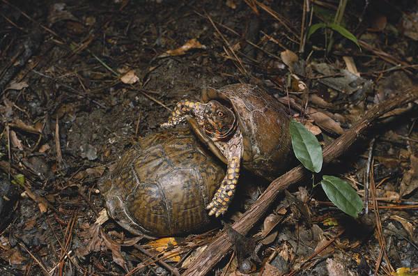 Box Turtle Photograph - Three-toed Box Turtles by Dan Guravich