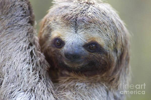 Photograph - Three-toed Sloth by BG Thomson