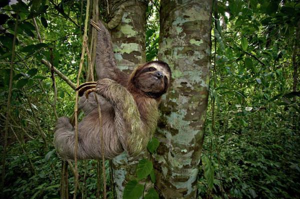 Cahuita Photograph - Three-toed Sloth (bradypus Variegatus by Andres Morya Hinojosa