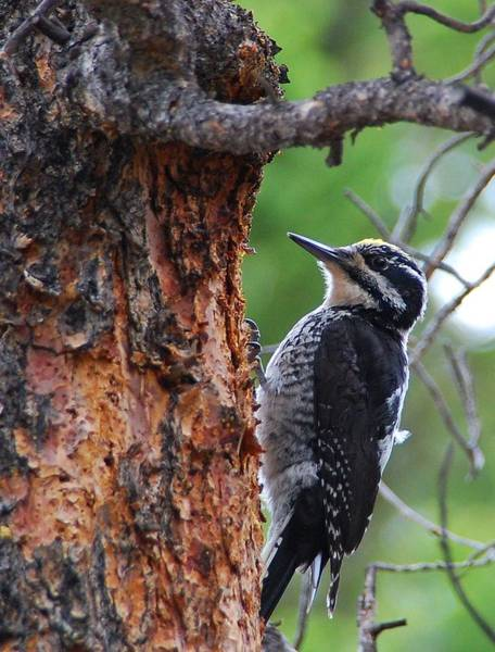 Photograph - Three-toed Woodpecker by Cascade Colors