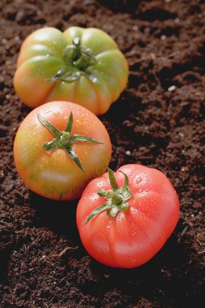 Wall Art - Photograph - Three Tomatoes On Soil by Foodcollection