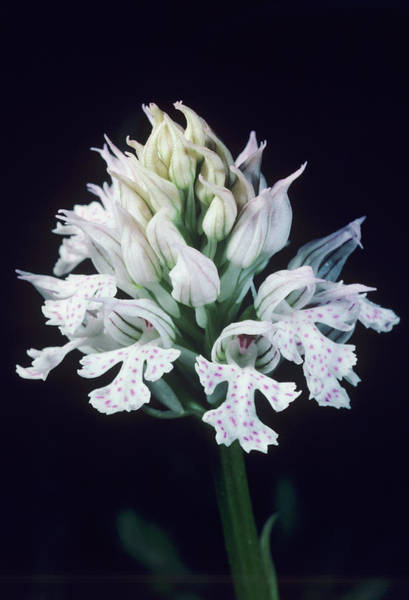 Orchis Photograph - Three-toothed Orchid Flowers by Paul Harcourt Davies/science Photo Library