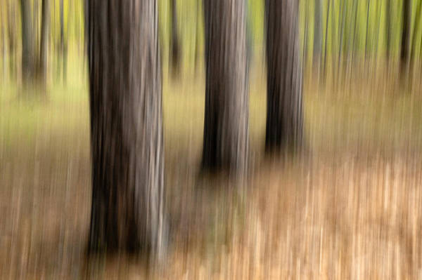 Photograph - Three Trees. Streaky Tree Abstract by Rob Huntley