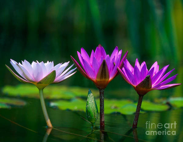 Photograph - Three Water Lilies by Chris Scroggins