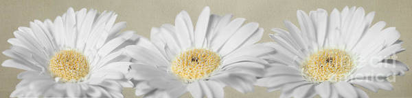 Triplets Photograph - Three White Daisies by Eden Baed