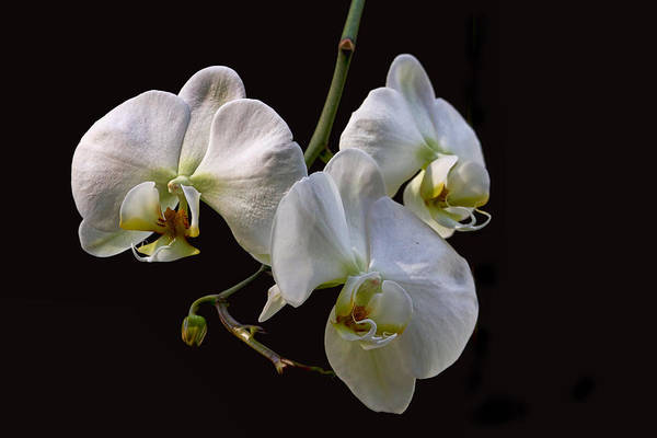 Photograph - Three White Orchids On Black by Peggy Collins