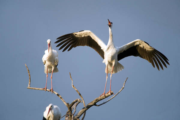 Tarangire Photograph - Three White Storks Ciconia Ciconia by Panoramic Images
