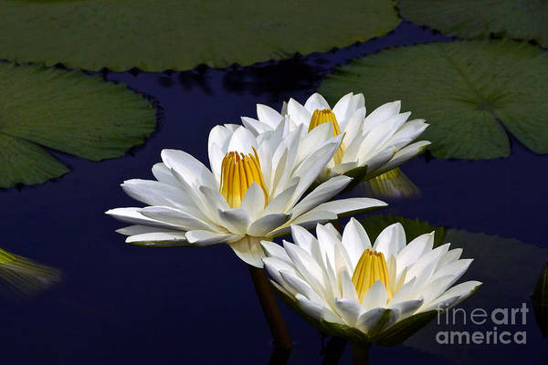 Photograph - Three White Tropical Water Lilies Version 2 by Byron Varvarigos