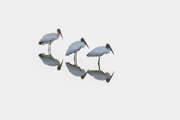 Blye Photograph - Three Wood Storks by Kenneth Blye
