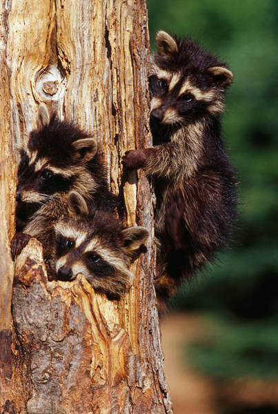 Raccoon Photograph - Three Young Raccoons In Hollow Tree by Panoramic Images