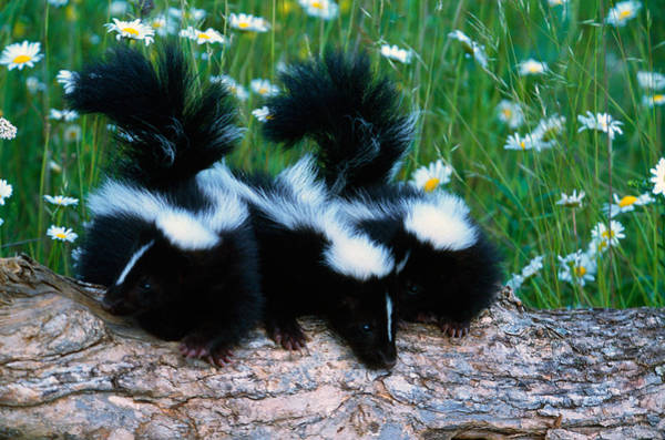 Skunk Photograph - Three Young Skunks On Log In Wildflower by Panoramic Images