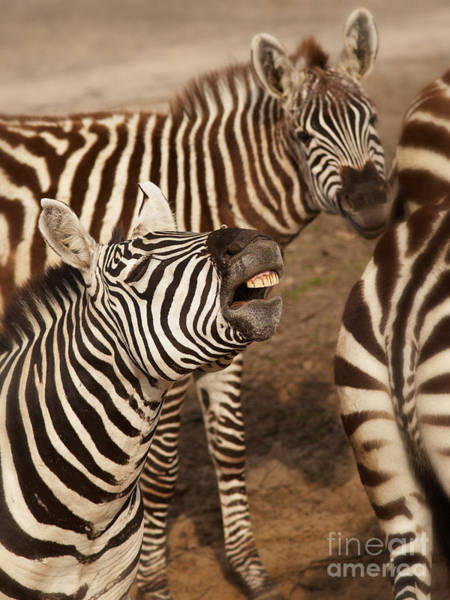 Photograph - Three Zebras Close Together by Nick  Biemans