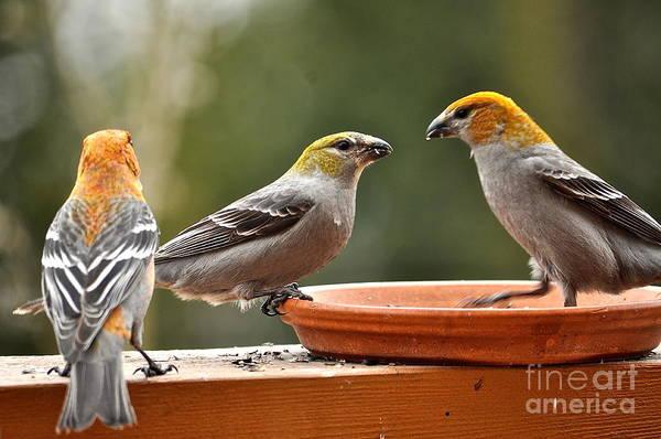 Pine Grosbeak Photograph - Three's A Crowd by Susan Chesnut