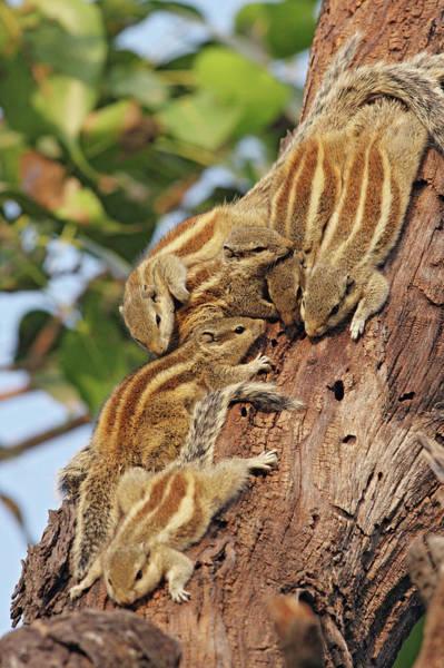 Wall Art - Photograph - Threestriped Palm Squirrels Cuddled by Jagdeep Rajput