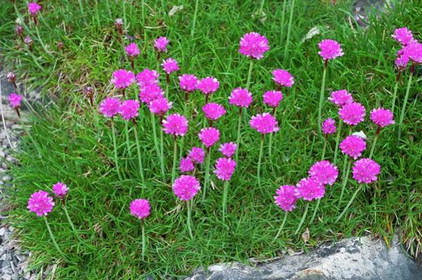 Plumbaginaceae Photograph - Thrift (armeria Maritima 'dusseldorfer') by Bob Gibbons/science Photo Library
