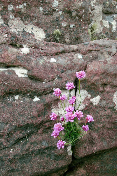 Crevice Photograph - Thrift (armeria Maritima) by Simon Fraser/science Photo Library