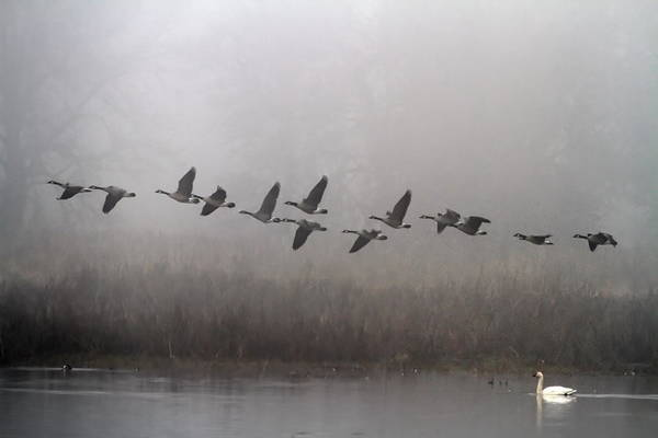Swan Photograph - Through The Fog by Angie Vogel