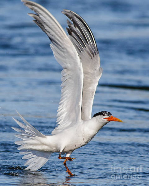 Elegant Tern Wall Art - Photograph - Throw Your Wings Up And Dance.....  by Carl Jackson