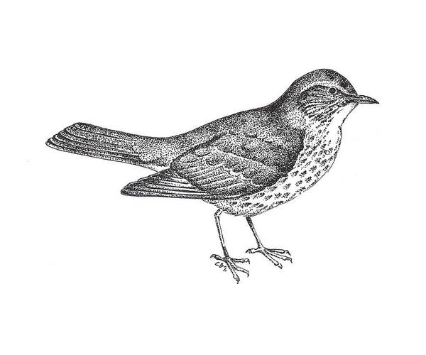 Illustrated Drawing - Thrush Bird Drawing by Christy Beckwith