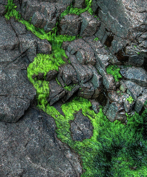 Photograph - Thunder Hole Algae by Michael Kirk