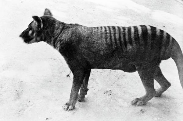 White Wolf Photograph - Thylacine by Natural History Museum, London
