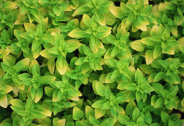 Wall Art - Photograph - Thyme by Steve Taylor/science Photo Library