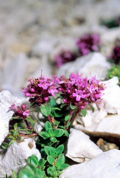 Thyme Photograph - Thyme (thymus Alpigenus) by Bruno Petriglia/science Photo Library