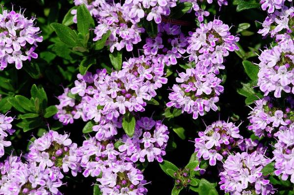 Thyme Photograph - Thyme (thymus 'jekka') by Neil Joy/science Photo Library