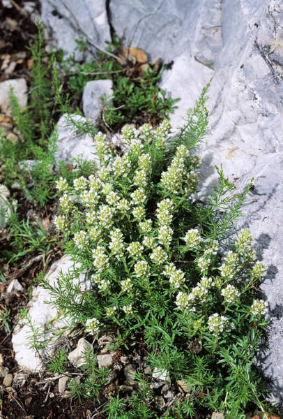 Thyme Photograph - Thyme (thymus Striatus) by Bruno Petriglia/science Photo Library