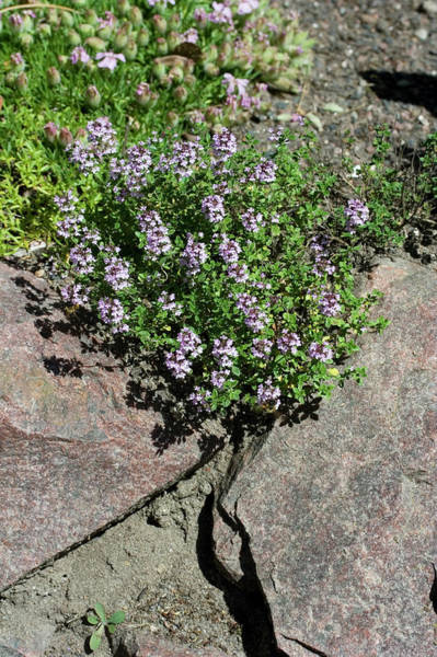 Thyme Photograph - Thymus X Citriodorus 'silver Queen' by Dan Sams/science Photo Library