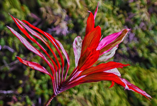 Photograph - Red Ti Plant by Jim Thompson