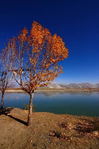 Wall Art - Photograph - Tibetan Golden Tree by FireFlux Studios