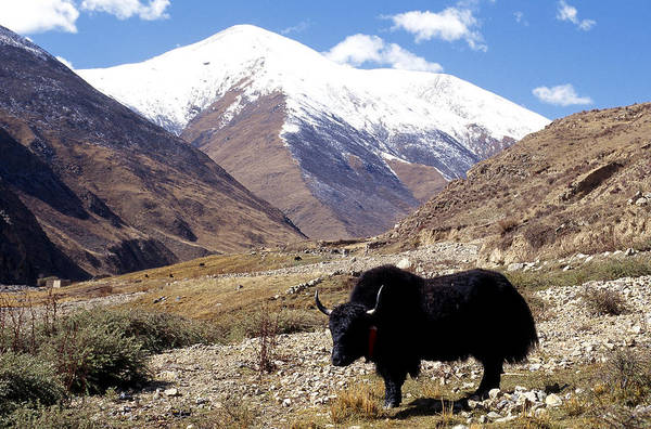 Wall Art - Photograph - Tibetan Yak In Nenang Valley by Alison Wright