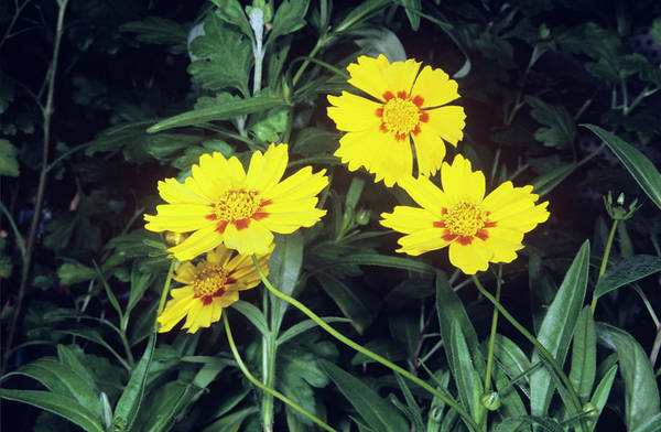 Wall Art - Photograph - Tickseed (coreopsis Grandiflora) by M F Merlet/science Photo Library