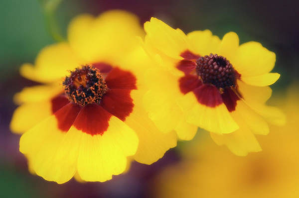 Wall Art - Photograph - Tickseed (coreopsis Grandiflora) by Maria Mosolova/science Photo Library