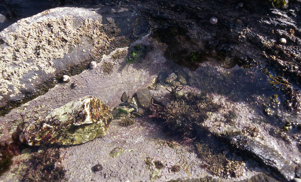 Foreshore Photograph - Tide-pool Organisms by Carleton Ray