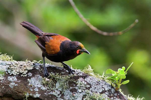 Wildbird Photograph - Tieke, Saddleback, On Tiritiri Matangi by Dave Walsh
