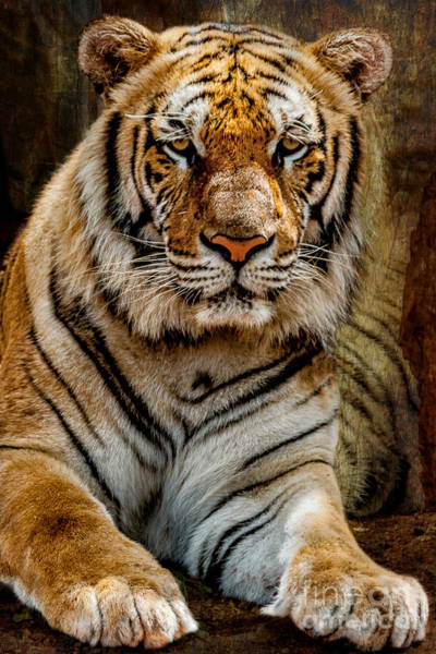 Wall Art - Photograph - Tiger by Adrian Evans