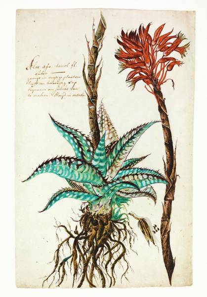 1600s Wall Art - Photograph - Tiger Aloe by Natural History Museum, London