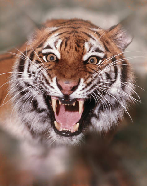 Growling Wall Art - Photograph - Tiger by Animal Images
