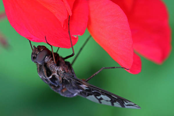 Photograph - Tiger Bee Fly by Juergen Roth