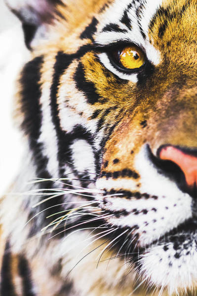 Photograph - Tiger by Deimagine