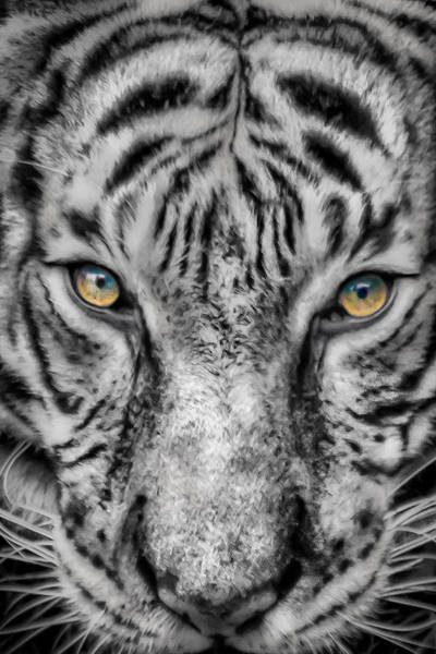 Photograph - Tiger Eyes by James Woody