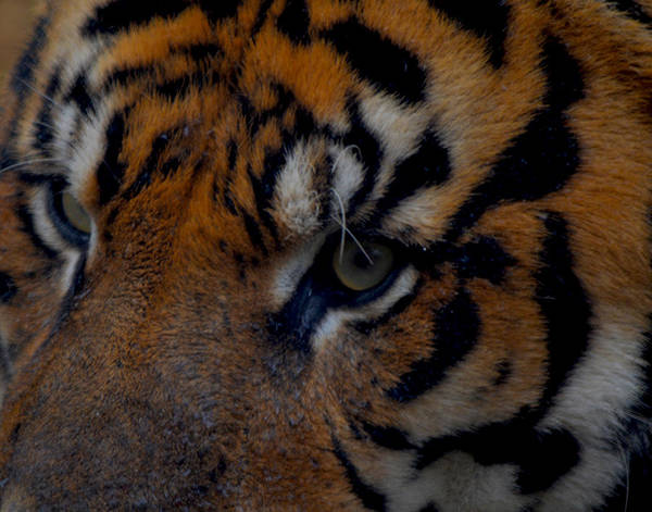 Photograph - Tiger Eyes by Maggy Marsh