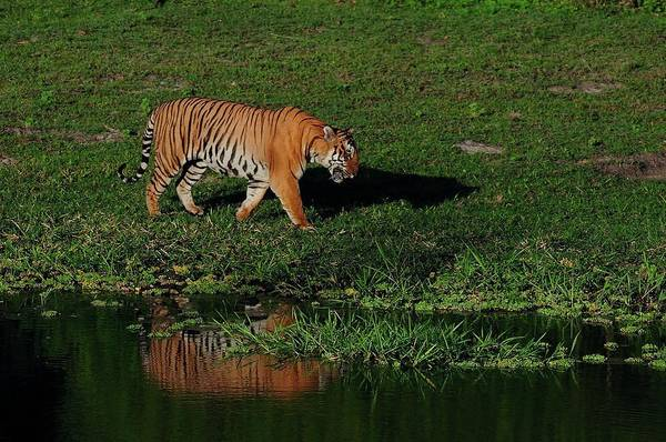Karnataka Photograph - Tiger by From Rajani, Lend And Glare